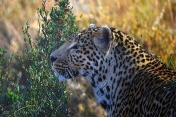 Leopards of the Karoo, Western Cape