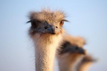 Oudtshoorn ostrich, Karoo, Western Cape