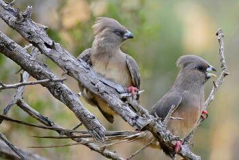 White-backed Mousebirds (Colius colius), Karoo, Western Cape