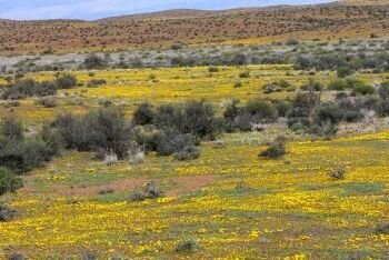 Flowering Karoo, near the N1 Highway, between Laingsburg and Prince Albert Road, Karoo, Western Cape