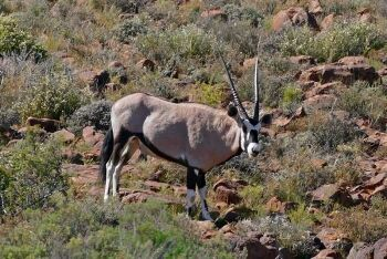 Gemsbok at Klipspringer Pass, Karoo National Park, Beaufort West, Karoo, Western Cape
